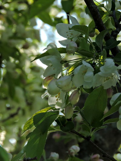 Flowering Trees Growth Plant Beauty In Nature Close-up Flower Freshness Tree Nature Flowering Plant Leaf Day Vulnerability  No People Plant Part Fragility Green Color Branch Outdoors Focus On Foreground White Color Spring