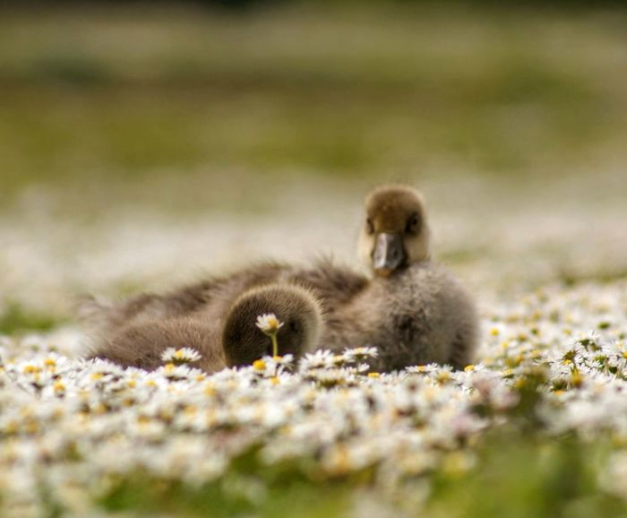 Animal Wildlife Animals In The Wild Bird Day Full Length Gosling Grass Group Of Animals Land Mammal Nature No People Plant Selective Focus Small Vertebrate Young Animal Young Bird