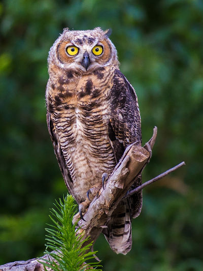 Bird Photography Owl Art Owl Portrait. Animal Themes Animal Wildlife Animals In The Wild Bird Bird Of Prey Birds Close-up Day Focus On Foreground Looking At Camera Nature No People One Animal Outdoors Owl Owl Photography Owls Perching Portrait Raptors
