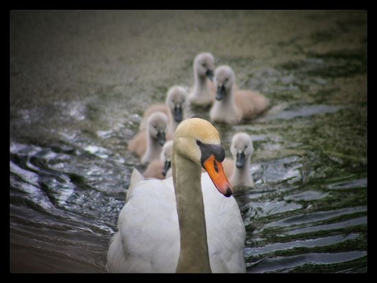 Lagan Canal Moira Swans Signets Our Best Pics EyeEm Nature Lover EyeEm Gallery Natures Magic The Great Outdoors - 2016 EyeEm Awards Exceptional Photographs The Essence Of Summer EyeEm Best Shots - Nature EyeEm Best Shots Baby Swans Waterfowl EyeEm Birds Springtime Family Of Swans Spring Birds EyeEm Animal Lover Cute Animals Proud Mother Northern Ireland Showcase June The Week On EyeEm Perspectives On Nature