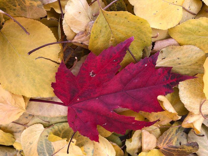 Red autumn leaf Leaf Autumn Change Dry Leaves Nature Maple Leaf