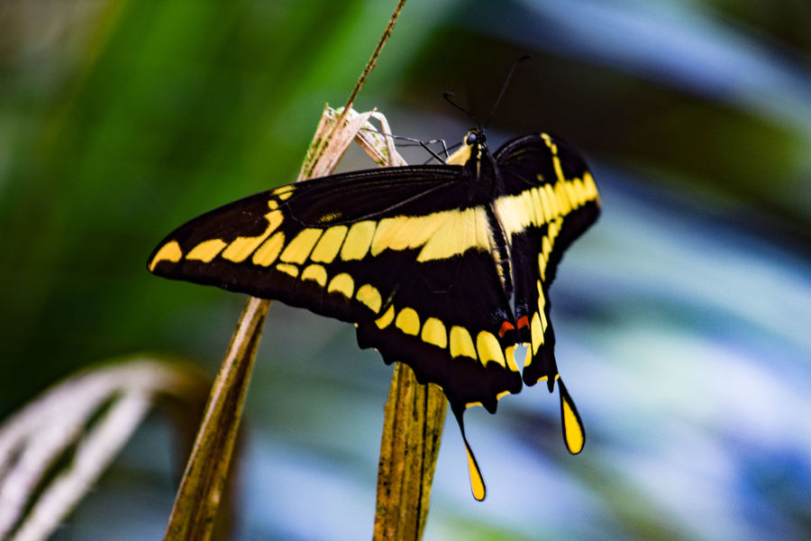 Insect Butterfly - Insect Animals In The Wild One Animal Animal Themes Animal Wildlife Close-up Animal Wing Nature No People Day Beauty In Nature Butterfly Animal Markings Pollination Simanovic Borboletas BORBOLETA Butterflies Butterfly Collection Hello World