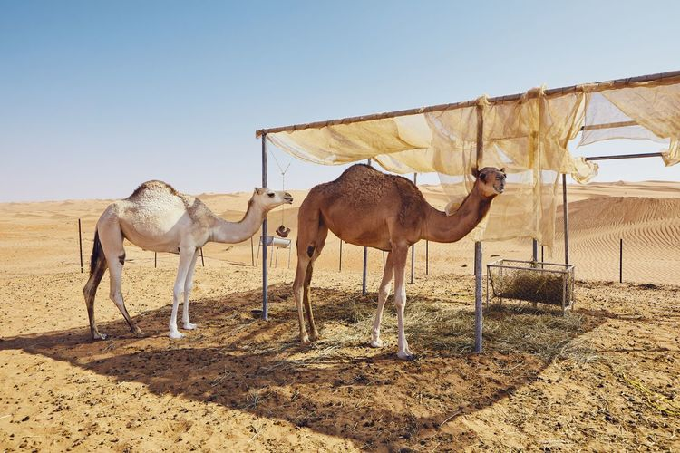 Camels standing by shelter in desert