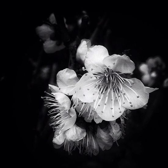Can you see color in Black and White? Plum blossom Plumblossom Japan Jj  Bw bnw bw_flower blackandwhite flowerbw flower noir mono colorless