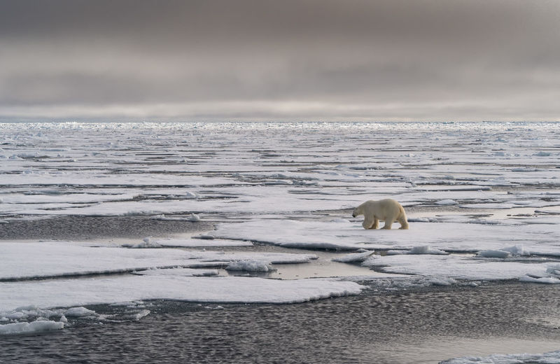 Polar Bear walking away on sea ice on an overcast day Cold Temperature Animal Themes Ice Animal Polar Bear Bear Mammal Animals In The Wild Animal Wildlife Polar Climate One Animal No People Outdoors Arctic Svalbard  Sea Ice Endangered Species