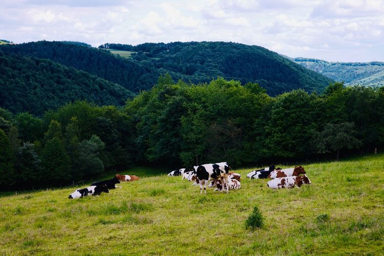 Rural scene with cattle on a meadow between the hills of the german Eifel. Herd Outdoors Herbivorous No People Vertebrate Cow Green Color Field Landscape Cattle Cloud - Sky Mountain Land Tree Group Of Animals Animal Grass Mammal Pets Animal Themes Livestock Domestic Domestic Animals Plant Farm Hills Eifel Germany Trees Nature Cows In A Field Cows Bulls Destination Journey Black And White Animals Animal Wildlife Meat Daylight Summertime Season  Weather Farm Life Farming German