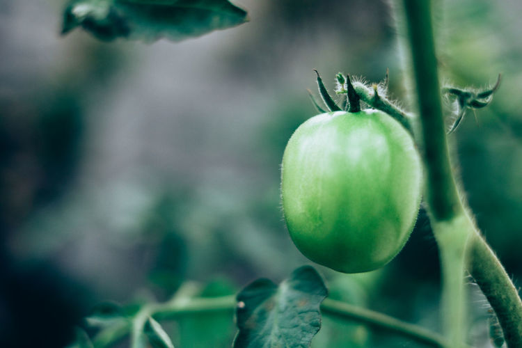 Close-up of tomato growing on plant