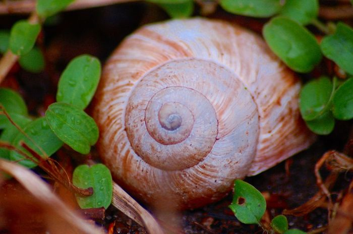 Schneckengehäuse Nature Nature_collection Nature Photography Naturelovers Detail Details Of Nature Macro Macro Photography Macro_collection Nature Snail Spiral Close-up Swirl Beauty In Nature No People Fragility Outdoors Day