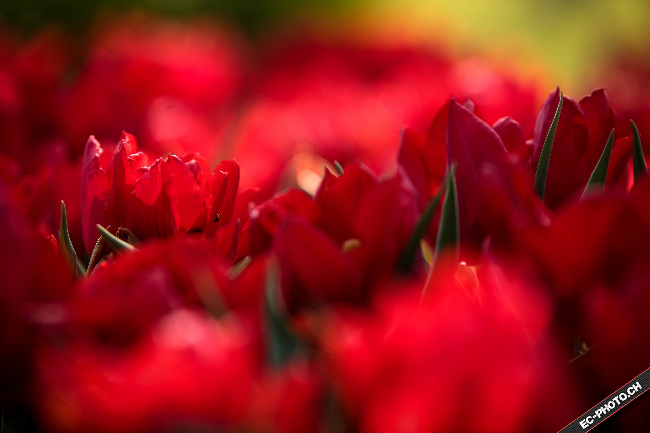 red, close-up, selective focus, focus on foreground, growth, freshness, beauty in nature, season, nature, abundance, backgrounds, vibrant color, no people, fragility, pink color, full frame, day, outdoors, drop, wet
