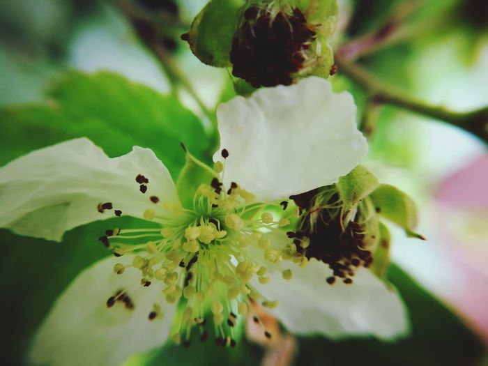 Berry Flowers Blackberry Flowers Blackberry Flower Macro_collection Flower Springtime Insect Leaf Closing Spider Close-up Ant Flowering Plant Stamen