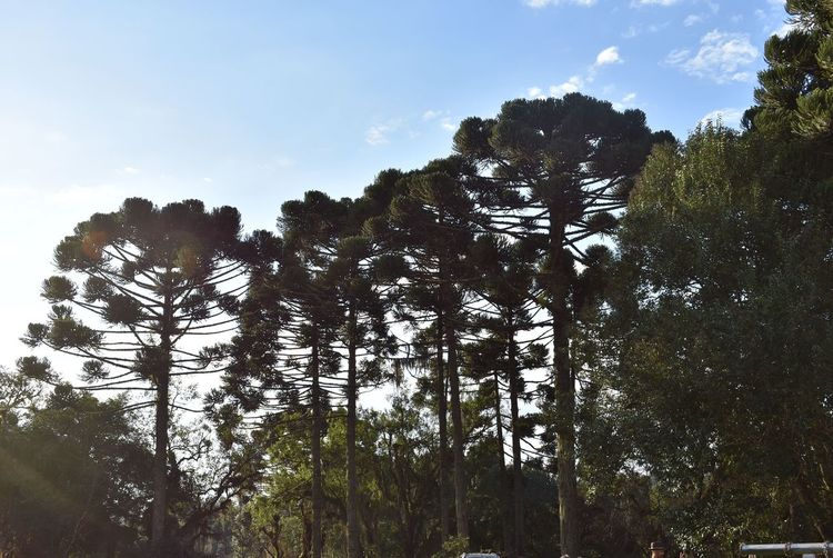 Tree Nature Outdoors Silhouette Beauty In Nature Paraná Pinheiro Araucaria Tree Lost In The Landscape Shades Of Winter