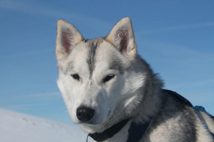 Portrait Of Husky Against Sky
