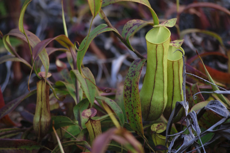 Leaf Growth Outdoors Nature No People Plant Day Close-up Animal Themes Freshness Nature Photography Pitcherplant Pitcher Plant Pitcher Plants Nephentes Nepenthes  Nepenthe  Nature Plant Beauty In Nature Naturelover Nature_collection Nature Themes Natural Naturephotography