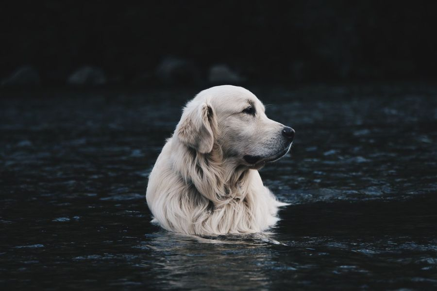 Quite. Golden Retriever Summer Dogs Water Dog Ghiro Nature River Creative Light And Shadow My Best Photo 2015