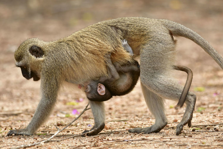 Close-up of baby monkey hanging from mother