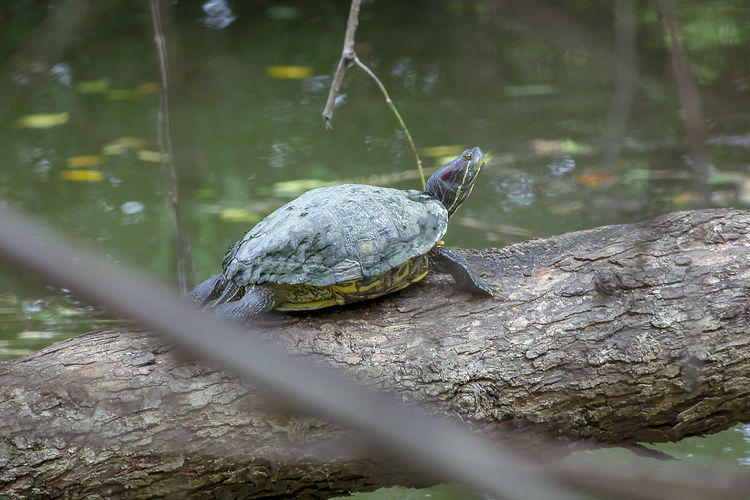 Red-eared slider on a branch Outdoors Animal Shell Plant Rock - Object Rock Shell Nature Turtle Selective Focus Reptile No People Animals In The Wild Day One Animal Animal Vertebrate Animal Wildlife Animal Themes Tree Solid Close-up Red-eared Slider Trachemys Scripta Elegans