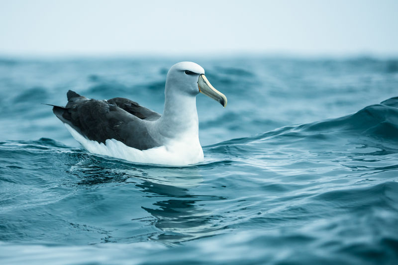 Close-Up Of Seagull Swimming In The Sea