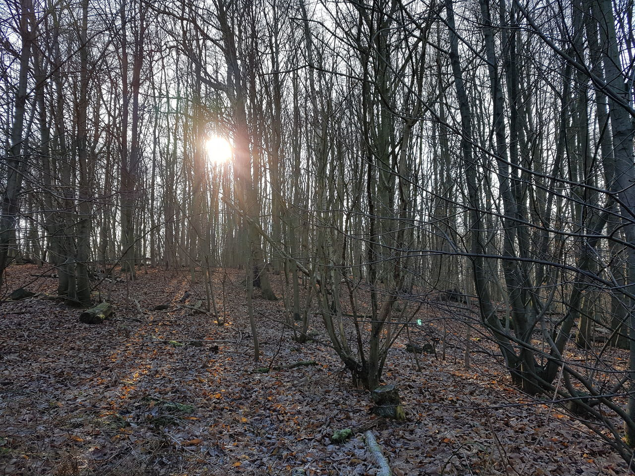 forest, tree, nature, tranquility, sun, beauty in nature, lens flare, tree trunk, tranquil scene, outdoors, scenics, branch, no people, day, sunlight, bare tree, autumn, sky