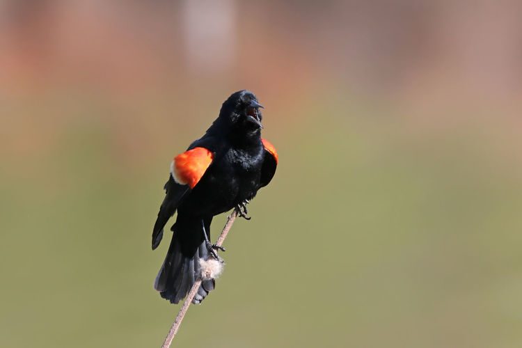 Red-winged blackbird perching on twig