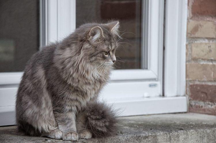 Cat Lovers Catoftheday EyeEm Nature Lover EyeEm Best Shots - Nature Siberian Kitty