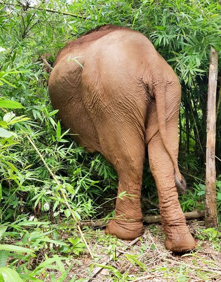 Elephant Elephants Arse Fat Arse Jungle Mondulkiri Mondulkiri, Cambodia Diet Backside Bum Hiding In Plain Sight Hiding You Cant See Me Can You See Me? Hide And Seek Tail