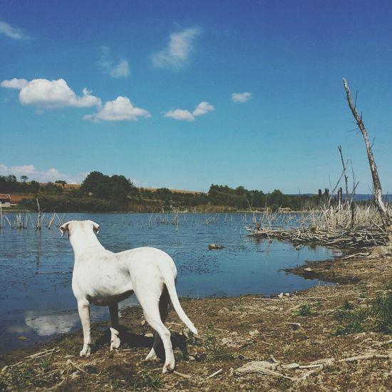 Dogs Doglife Dogo Argentino Landscape