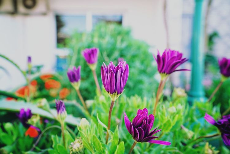Morocco Photos Flowerpark Flower Garden Purple Pink Color Plant Nature Flower Head Beauty In Nature Fragility Freshness No People Petal Growth Day Multi Colored Outdoors Flowerbed Travel Relaxing Morocco Close-up Crocus Streamzoofamily