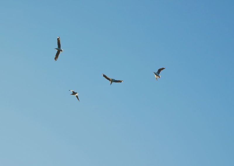 Seagulls Iviewbirds Birds Vulture-like Clear Sky Blue Sky Four Birds Feathered Friends Soaring Soaring Up Above Up Above Me Circling The Sky Beauty In Nature Each One Different
