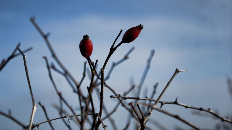Berries On A Branch Redberries Berries Plant Red Growth Nature Sky Flower Close-up No People Beauty In Nature Outdoors Day Rural Scene Hedgerow Tranquility
