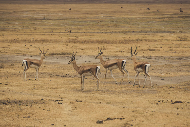 High angle view of oryx walking on field