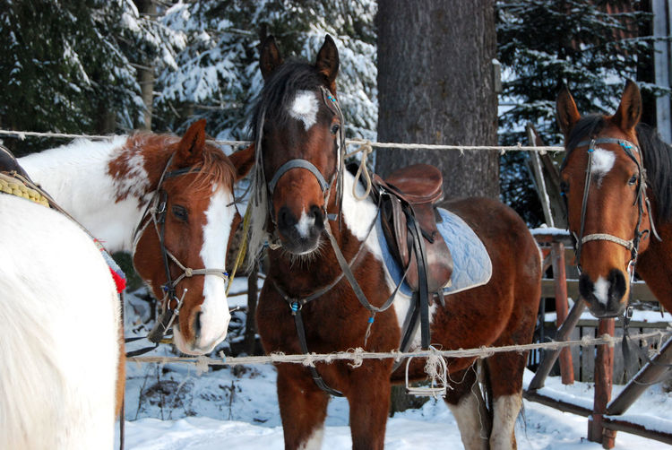 Horses in a snow