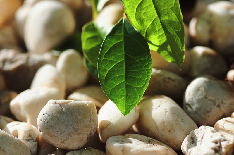 Close-up of fresh green leaves on pebbles