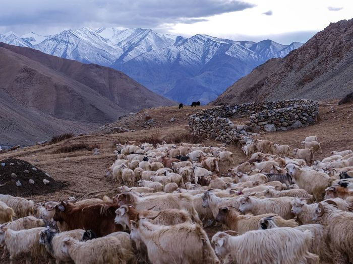 Goats standing on field against mountains