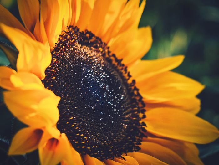 Sunflower Power Flowering Plant Flower Petal Fragility Vulnerability  Flower Head Beauty In Nature Sunflower Growth Freshness Yellow Close-up Nature Plant
