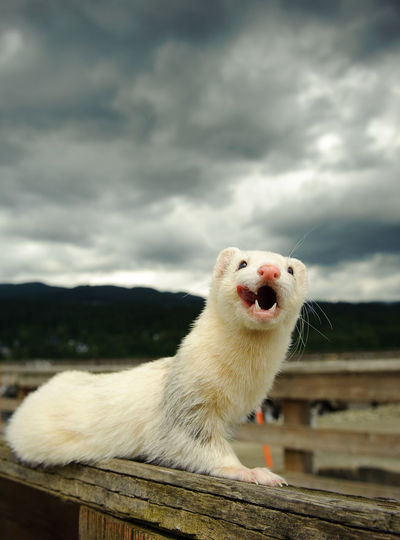 Close-up of ferret on wooden bench against cloudy sky