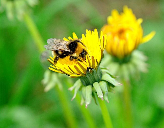 Bees And Flowers Bees At Work Summer2016 Nature Macro Photography Macro Nature Finland Dandelion Bees And Dandelions