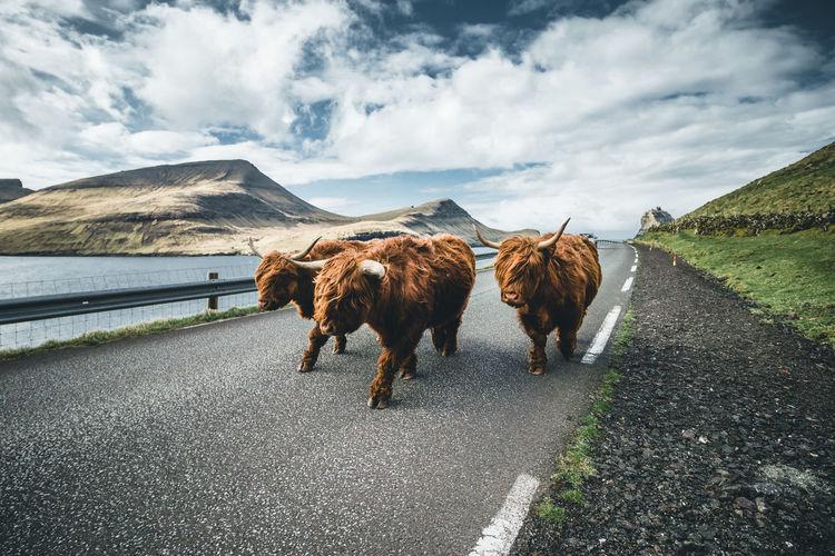 Herd of horse on road