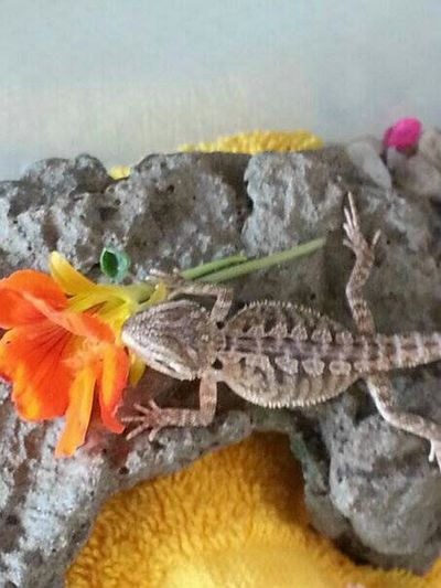 Bearded Dragon Baby Dragon. Flowers, Nature And Beauty Taking Photos Nature_collection Beatiful Nature