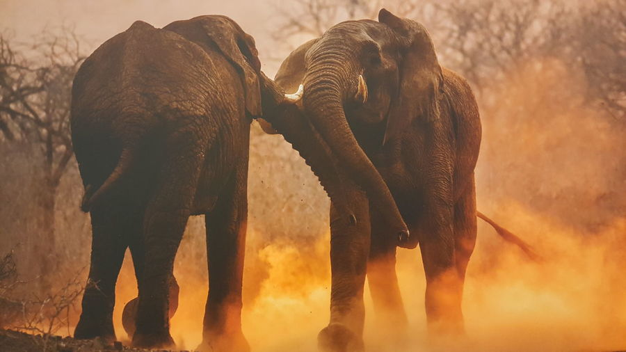 Elephant Elephants Elephant Nature Park Elephant Art Animals Africa Safari Dust Dusty Road Sunset Hanging Out Taking Photos Check This Out Hello World EyeEm Gallery Eyem Best Shots