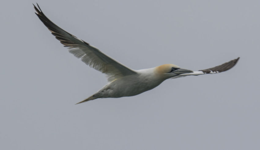 Gannet Animal Themes Animal Wing Animals In The Wild Bass Rock Bass Rock Gannets Bird Clear Sky Copy Space Day Flying Full Length Low Angle View Mid-air Motion Nature No People One Animal Outdoors Spread Wings Wildlife Zoology