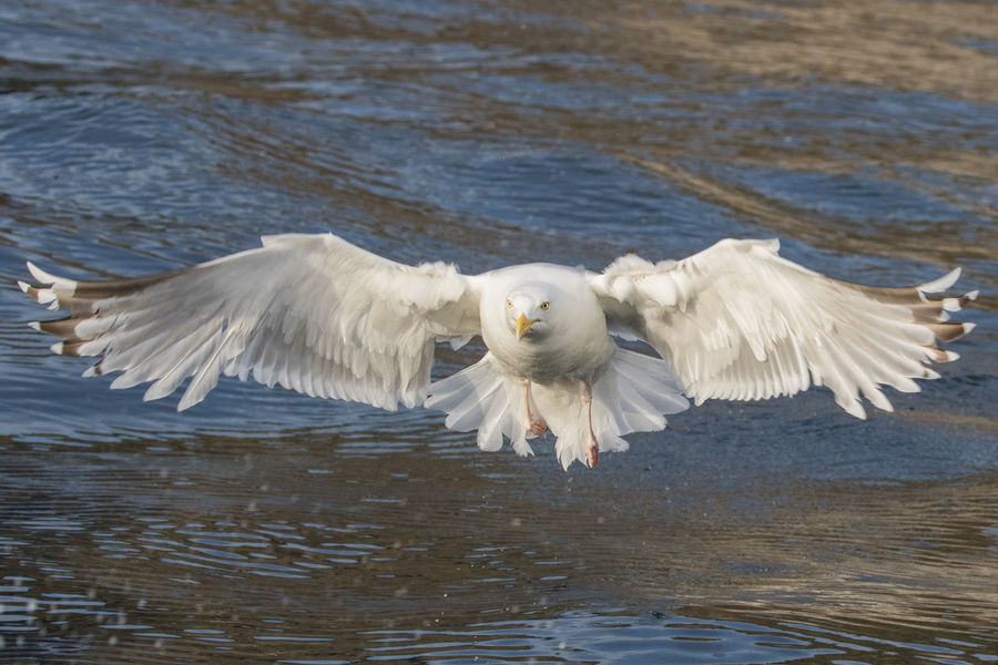 Norway Norwegen Animal Themes Animal Wing Animals In The Wild Beauty In Nature Bird Day Flapping Flying Nature No People One Animal Runde Seagull Spread Wings Vertebrate Water White Color