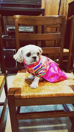 Pup looking cute AF! Dog Pets One Animal Domestic Animals Animal Themes Sitting Mammal Portrait Looking At Camera No People First Eyeem Photo Home NYC Photography Close-up Beauty In Nature Shih Tzu Shihtzu Petphotography Pet Portraits Pet Photography  Petportrait Petportrait Hanbok Hanbokkorea Hanboks
