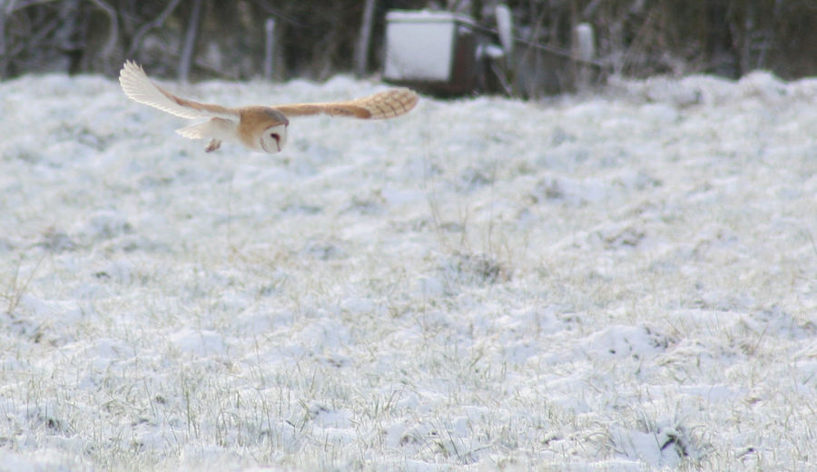 Barn Owl Barn Owl Flying Barn Owl In Snow Beauty In Nature Cold Temperature Field Hunting Nature No People Norfolk Wildlife One Animal Outdoors Owl Hunting In Snow Owl In Snow Snow Wildlife In Snow Winter Winter Wildlife