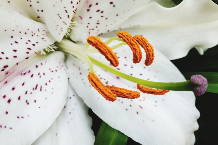 High angle view of white lilies