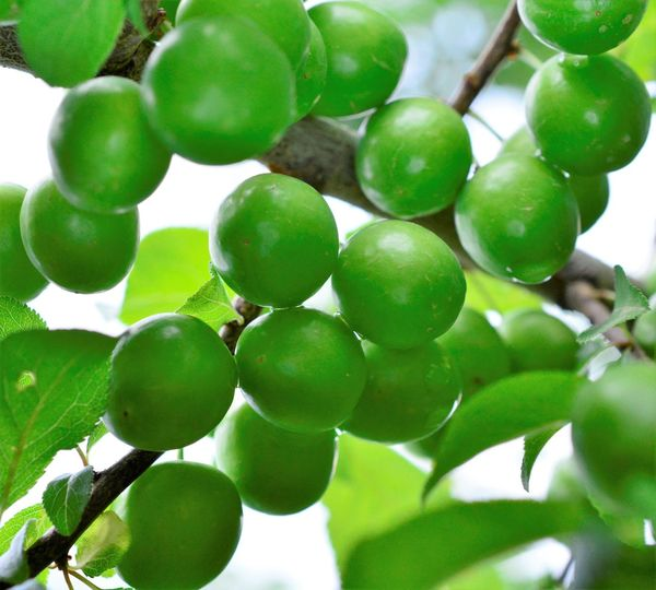 plums Green Color Green Plum Beauty In Nature Branch Close-up Day Focus On Foreground Food Food And Drink Freshness Fruit Green Color Growth Healthy Eating Leaf Nature No People Outdoors Plant Plant Part Plum Plum Tree Ripe Ripening Fruit Tree Wellbeing