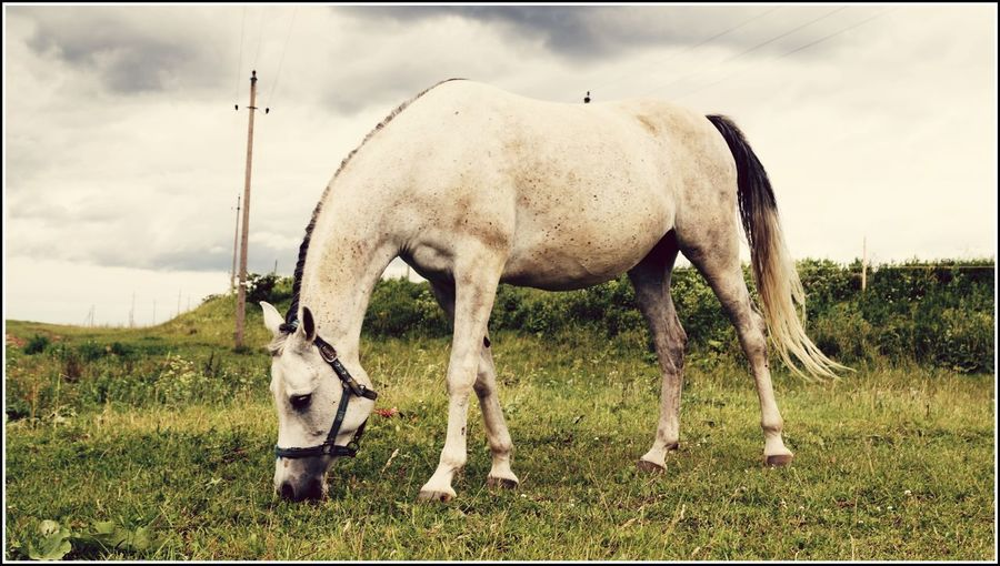 Animal Themes Day Domestic Animals Field Foal Full Length Grass Grazing Herbivorous Horse Livestock Mammal Nature No People Outdoors Sky Standing Young Animal