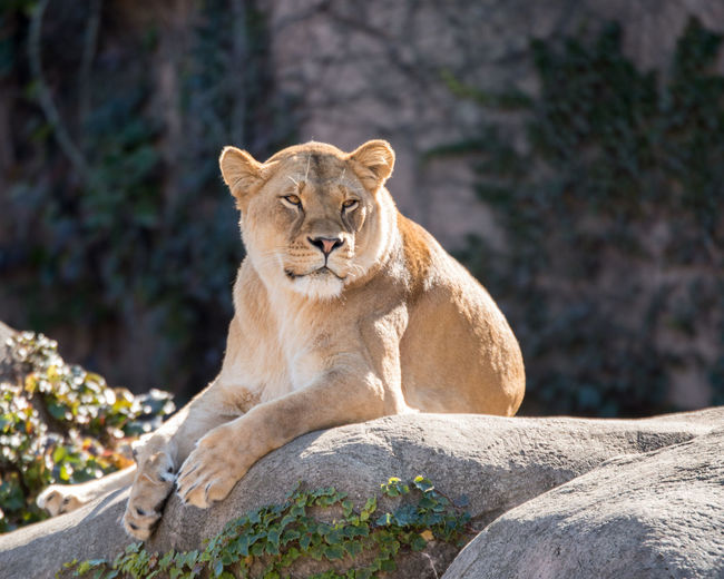 ©Amy Boyle Photography Animal Themes Animals In The Wild Day Lioness Mammal Nature No People One Animal Outdoors Relaxation Rock - Object Sitting Tree Zoology