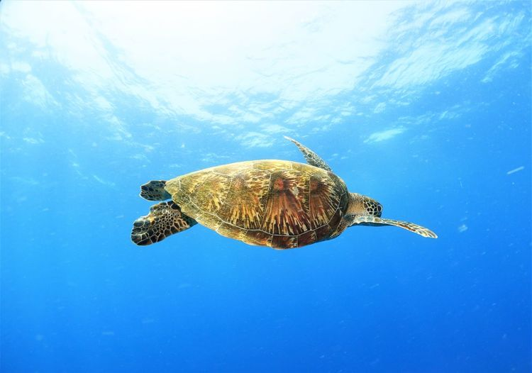Endangered Hawksbill turtle with beautiful shell swimming peacefully in the deep ocean Beautiful Endangered Species Hawksbill Turtle Animal Animal Themes Animal Wildlife Animals In The Wild Blue Critically Endangered Hawskbill Marine Nature No People One Animal Sea Sea Life Shell Swimming Turtle Turtle Shell UnderSea Underwater Vertebrate Water Wild