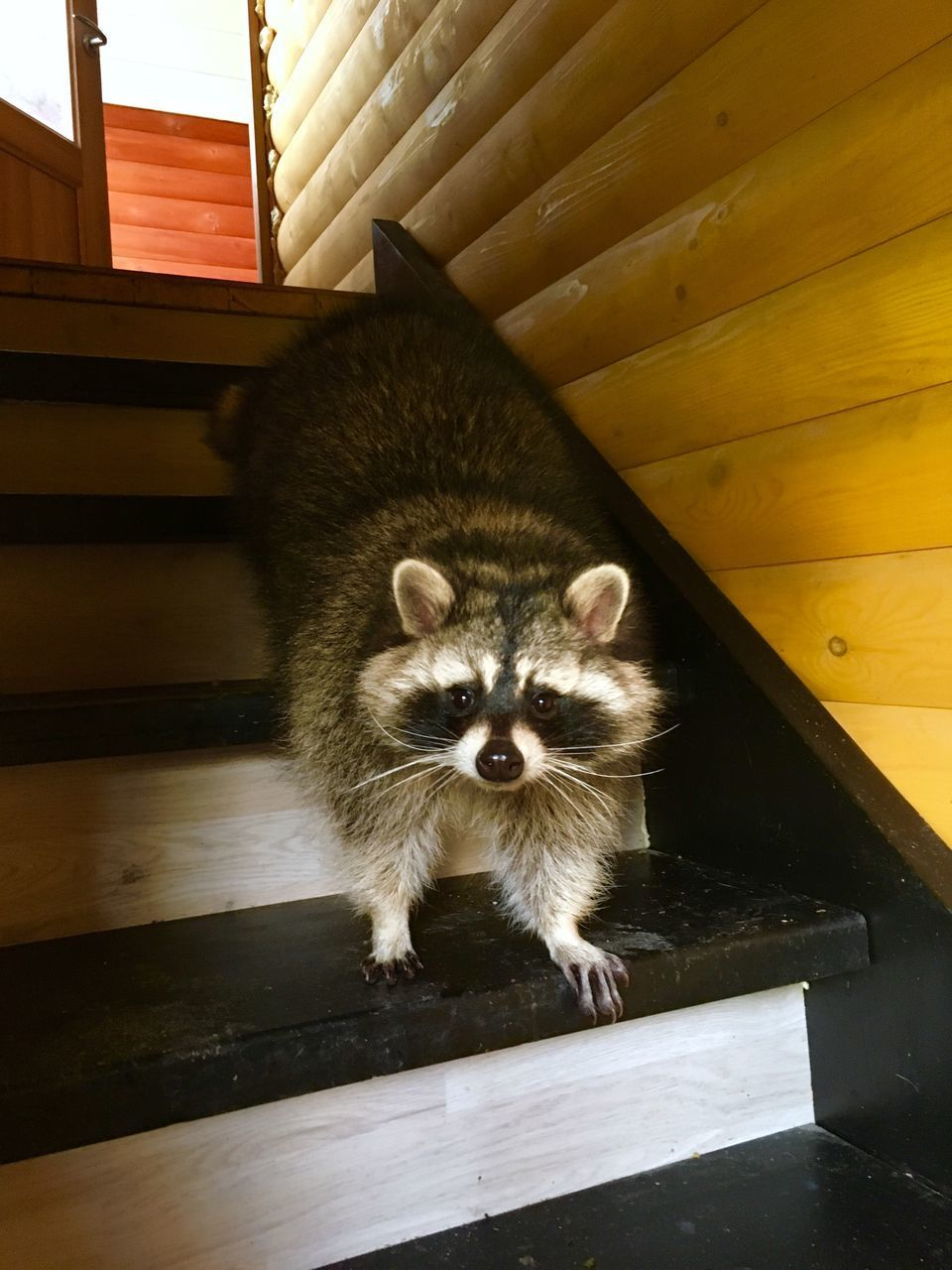 mammal, one animal, looking at camera, portrait, no people, vertebrate, wood - material, indoors, domestic, pets, staircase, day, architecture, domestic animals, young animal, standing, whisker