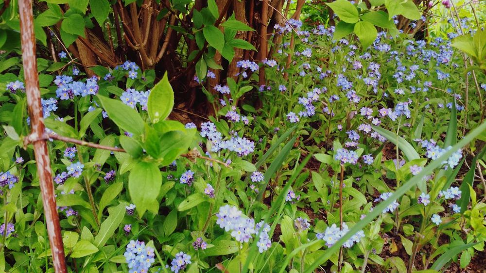 Growth Flower Nature Plant Green Color Leaf Beauty In Nature Freshness Fragility Outdoors Full Frame No People Day Close-up Flower Head Forget Me Nots